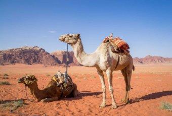 Jordanien – Kamele